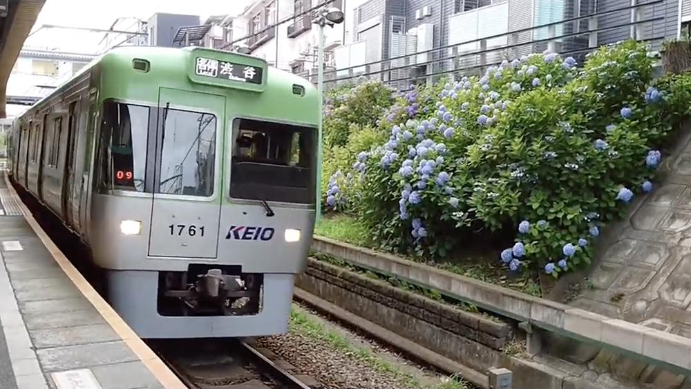 井の頭線の東松原駅のアジサイ