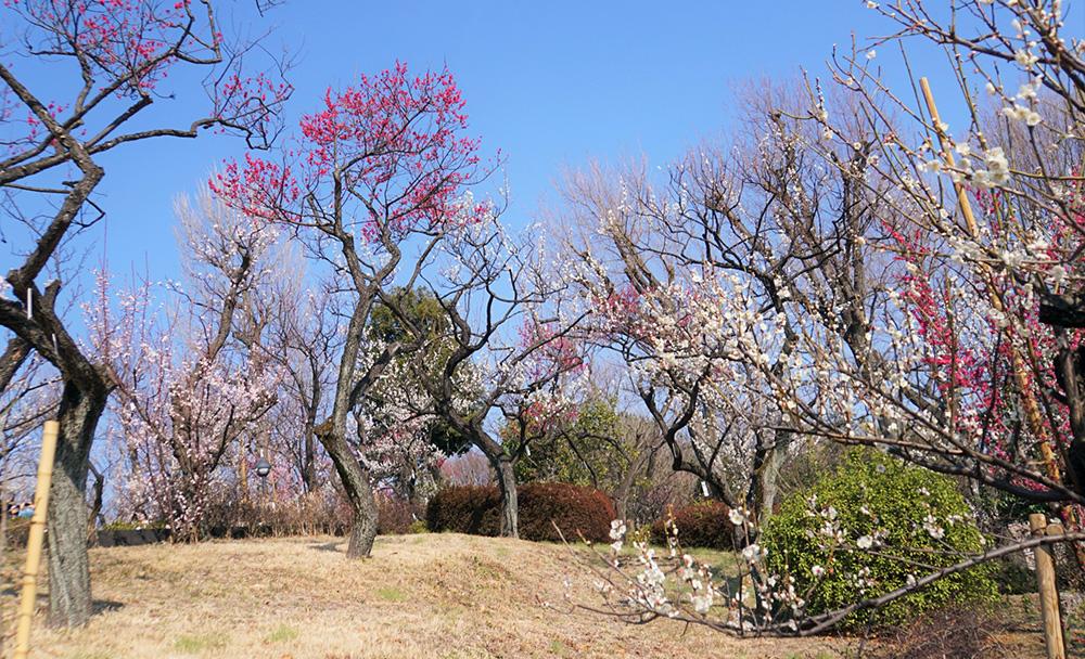井の頭線・東松原の羽根木公園には約650本・60種のすごい梅林があります。