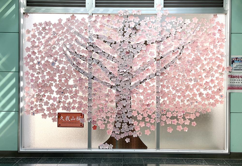 3月に掲示された久我山桜「卒業編」の満開の様子