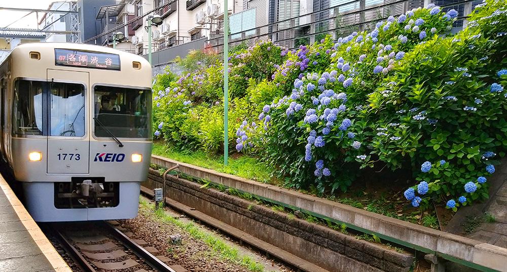 東松原駅のアジサイと井の頭線アイボリーホワイト(2020年撮影)