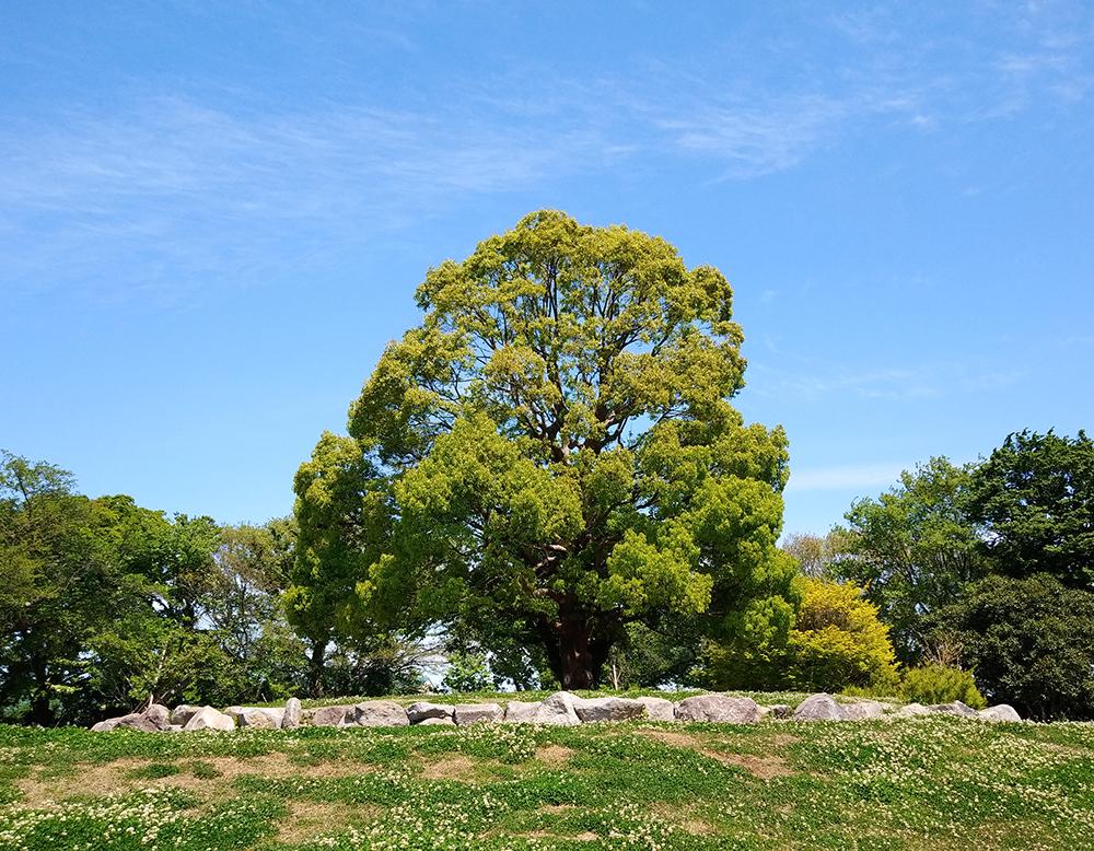 高井戸公園の巨大なクスノキ